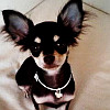 Chihuahua looks up