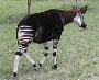 Okapi (closest relative to the giraffe)