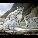 tigers lions avatars 0333