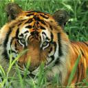 tigers lions avatars 0722