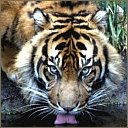 tigers lions avatars 2070